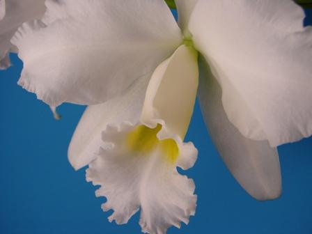 C.Cornelia f.alba (コーネリア・アルバ)_d0007501_20355821.jpg