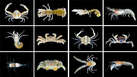 名護市沖で39の新種甲殻類 普天間移設予定地にも_b0052564_12113477.jpg