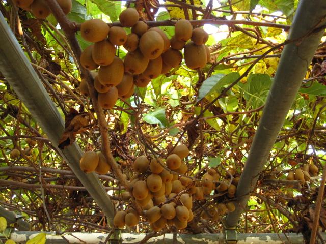 シマサルナシの収穫_e0181373_2056852.jpg