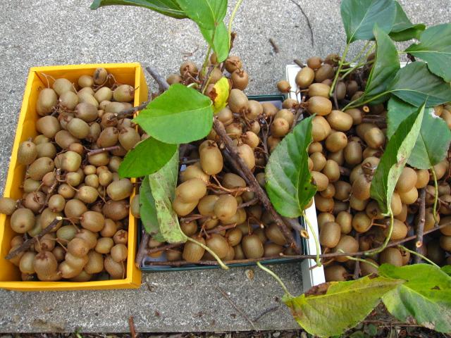 シマサルナシの収穫_e0181373_20582540.jpg