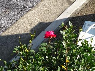 バラが咲いた_d0074474_14523229.jpg