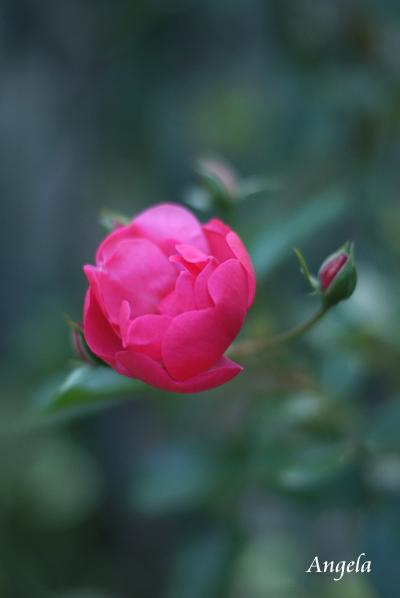 晩秋のバラたち_d0107929_21235029.jpg