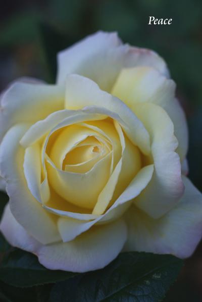 晩秋のバラたち_d0107929_21241477.jpg
