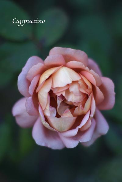 晩秋のバラたち_d0107929_2124217.jpg