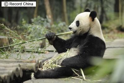 パンダが初めて南半球に、オーストラリアの動物園に貸与_b0052564_1135689.jpg