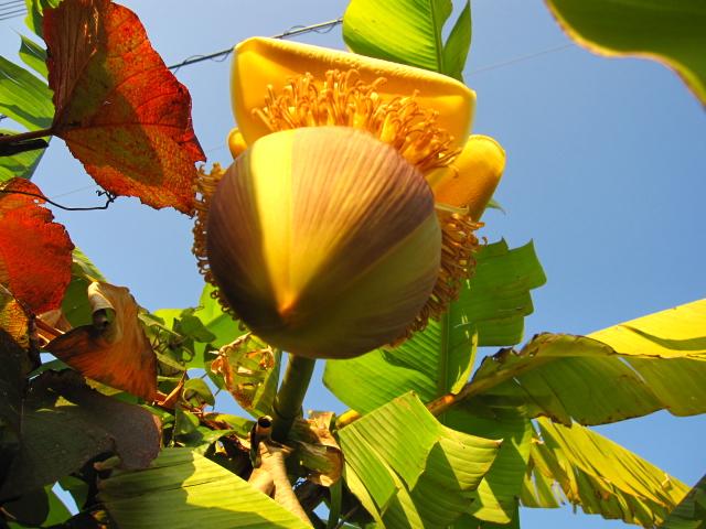 芭蕉と檸檬_e0181373_20454358.jpg
