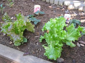 家庭菜園はまだ続く・・・_a0139242_9571100.jpg