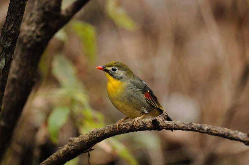 山の泉の冬鳥(ルリビタキ、アトリ、ソウシチョウ)_d0099854_19134330.jpg