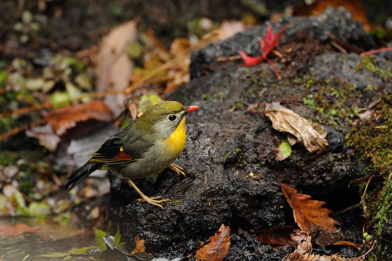 山の泉の冬鳥(ルリビタキ、アトリ、ソウシチョウ)_d0099854_19145663.jpg