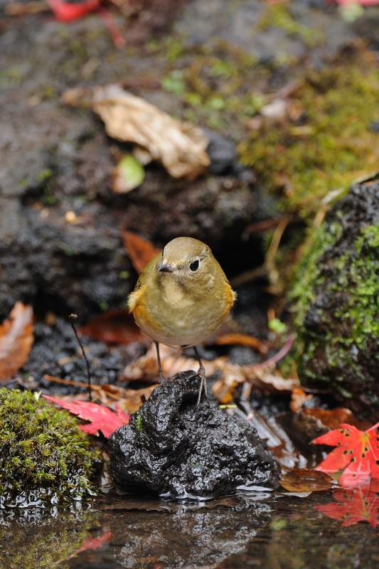 山の泉の冬鳥(ルリビタキ、アトリ、ソウシチョウ)_d0099854_1922237.jpg