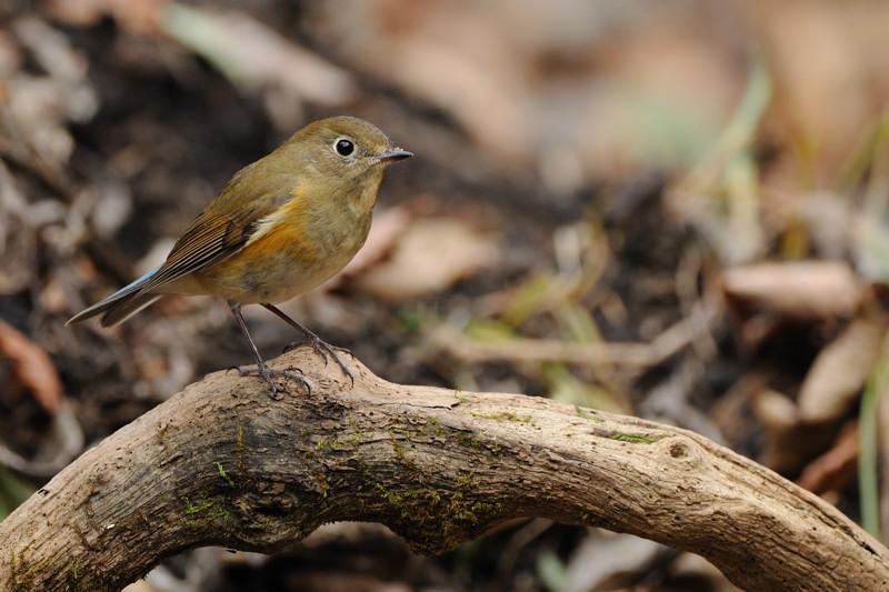 山の泉の冬鳥(ルリビタキ、アトリ、ソウシチョウ)_d0099854_1932172.jpg