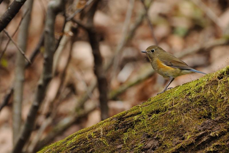 山の泉の冬鳥(ルリビタキ、アトリ、ソウシチョウ)_d0099854_1935382.jpg