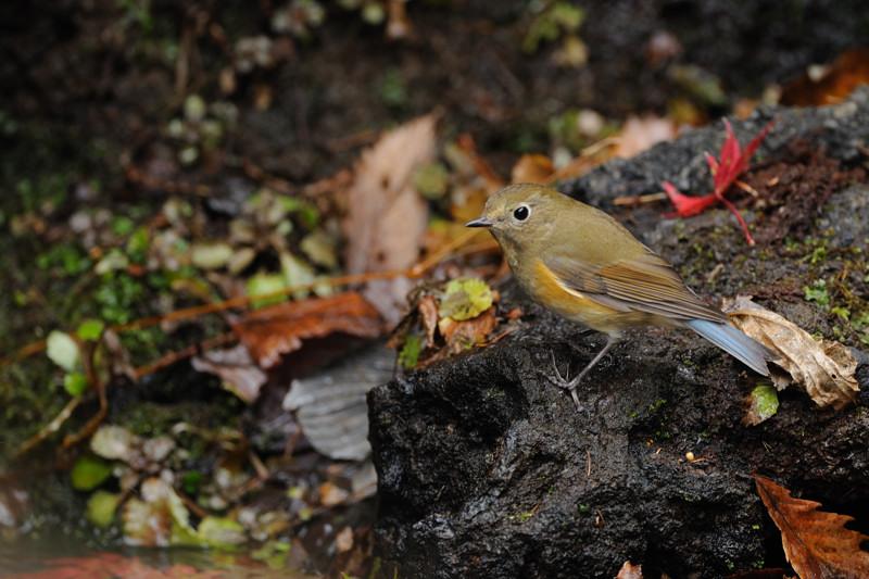 山の泉の冬鳥(ルリビタキ、アトリ、ソウシチョウ)_d0099854_1952671.jpg