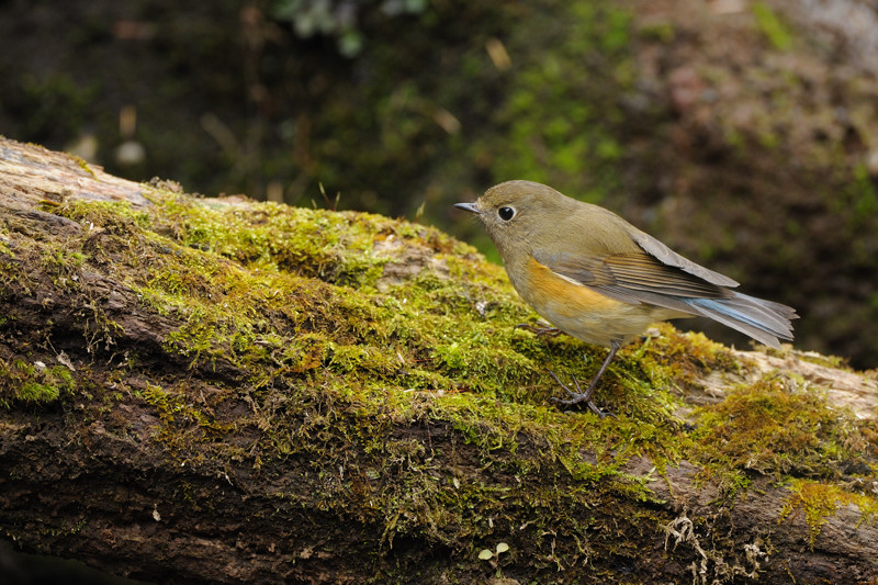 山の泉の冬鳥(ルリビタキ、アトリ、ソウシチョウ)_d0099854_1971032.jpg