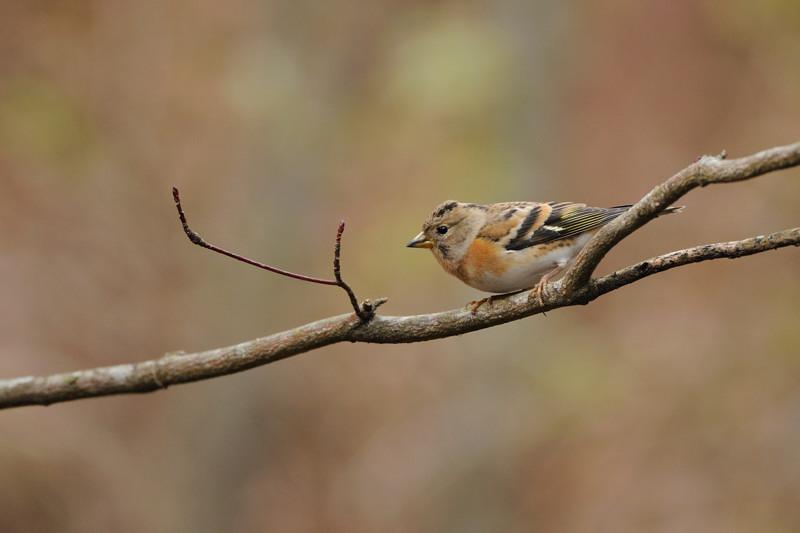山の泉の冬鳥(ルリビタキ、アトリ、ソウシチョウ)_d0099854_1982686.jpg