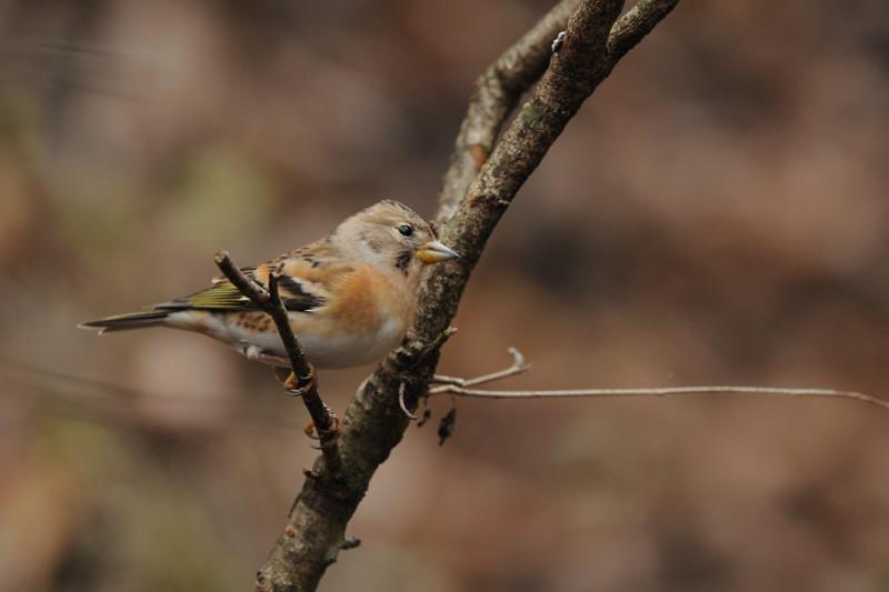 山の泉の冬鳥(ルリビタキ、アトリ、ソウシチョウ)_d0099854_19921.jpg
