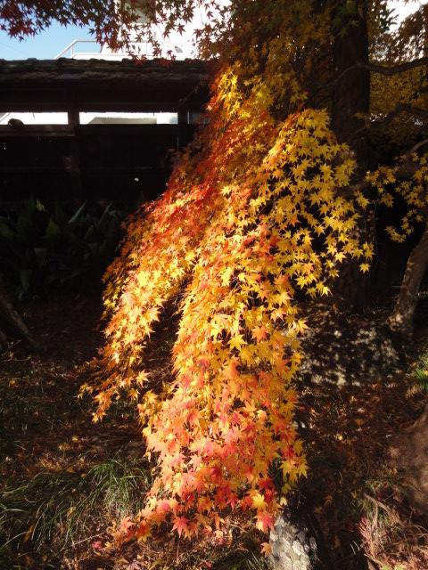 庭のもみじ_b0124462_1211151.jpg