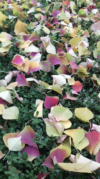 まだまだ美しい街路樹と落ち葉♪_c0116778_9235419.jpg