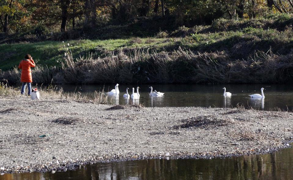川島町の白鳥_a0107574_19571271.jpg