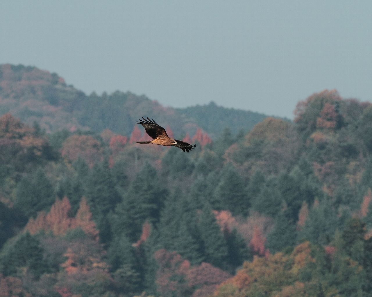 紅葉の相模川を飛ぶトビ_f0105570_2242884.jpg
