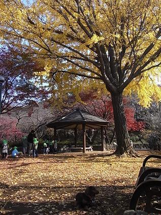 大倉山公園のイチョウとモミジ♪_b0105897_1854717.jpg