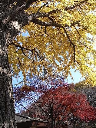 大倉山公園のイチョウとモミジ♪_b0105897_18573660.jpg