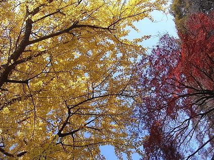 大倉山公園のイチョウとモミジ♪_b0105897_18593988.jpg