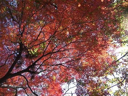 大倉山公園のイチョウとモミジ♪_b0105897_1925658.jpg