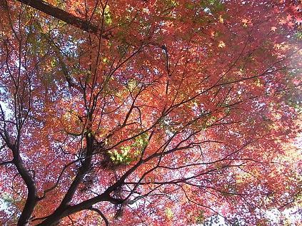 大倉山公園のイチョウとモミジ♪_b0105897_1943089.jpg