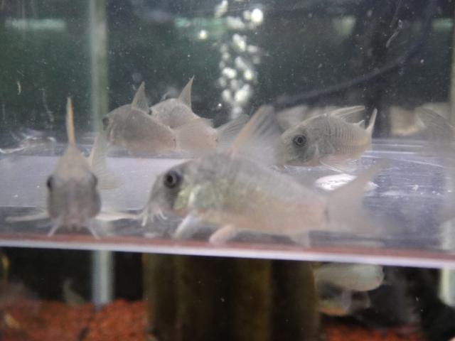 熱帯魚・金魚・水草_f0189122_13351110.jpg