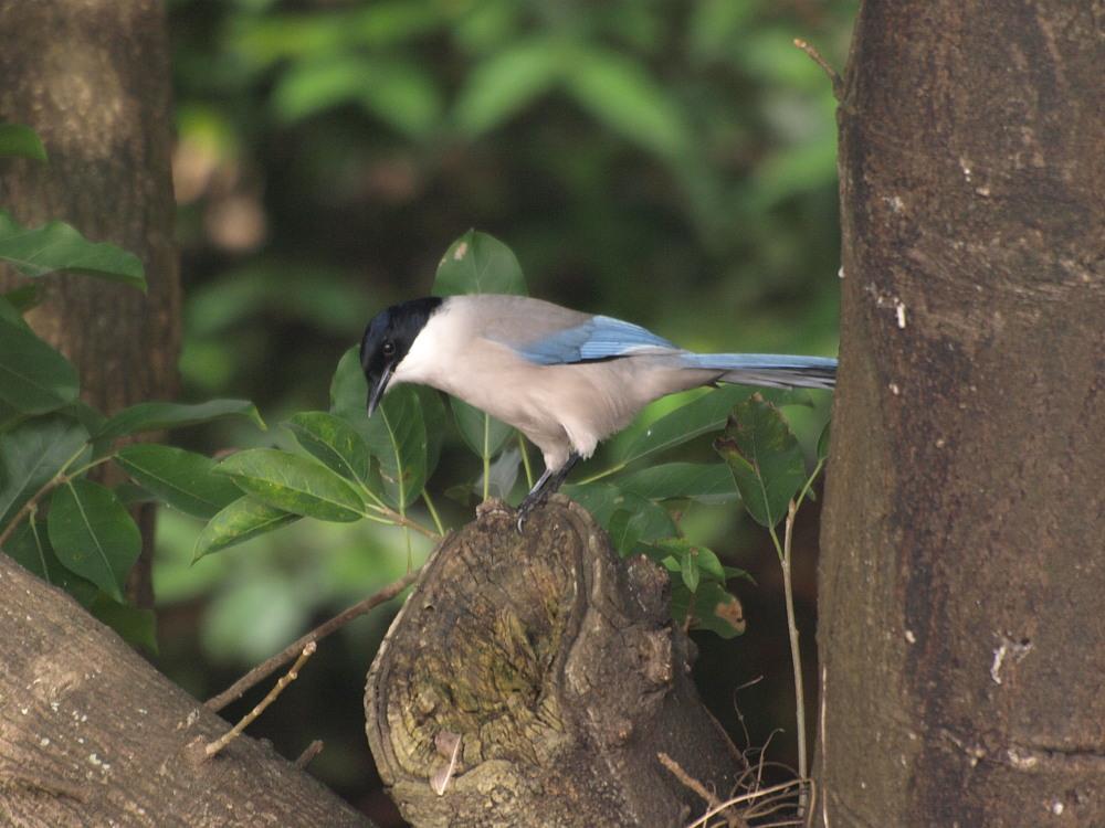 香港の野鳥  091120 Mai Po訪問時 その1_a0146869_64724.jpg