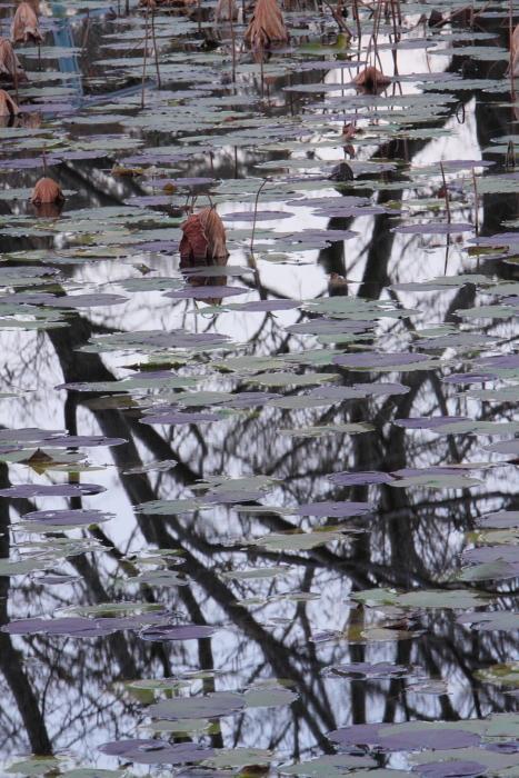 蓮池 那珂市「宮の池」_e0143883_18545349.jpg