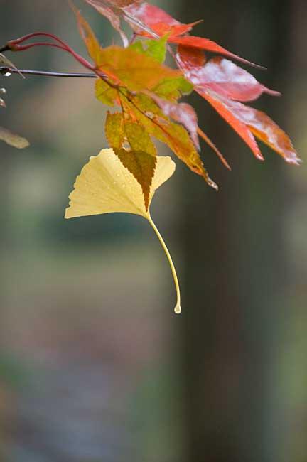 09.12.4「イチョウの葉」_c0085877_7125875.jpg