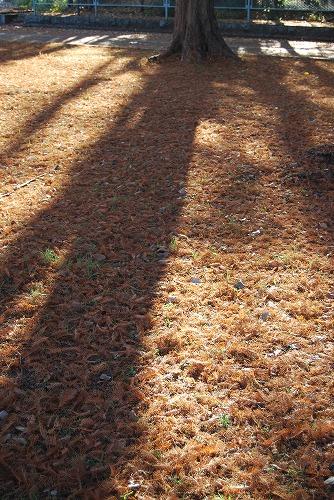 メタセコイヤの絨毯…_c0124100_18101936.jpg