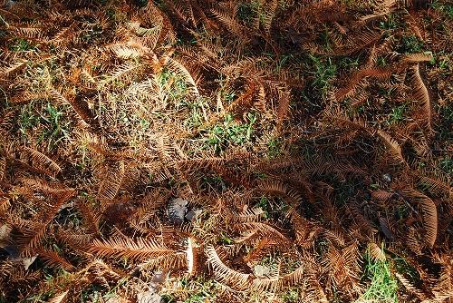 メタセコイヤの絨毯…_c0124100_18105393.jpg