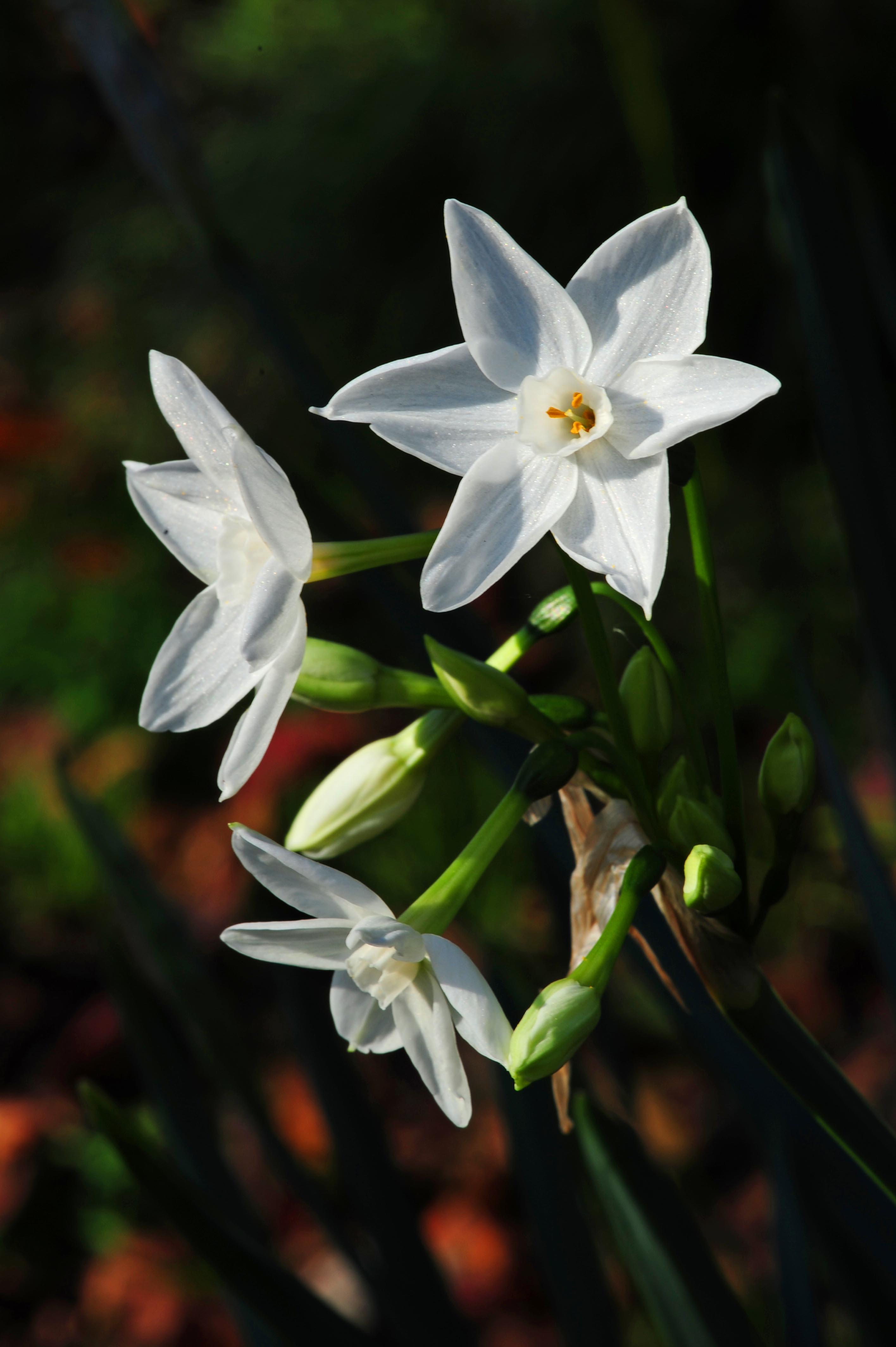 冬に咲く水仙_e0157647_22423375.jpg
