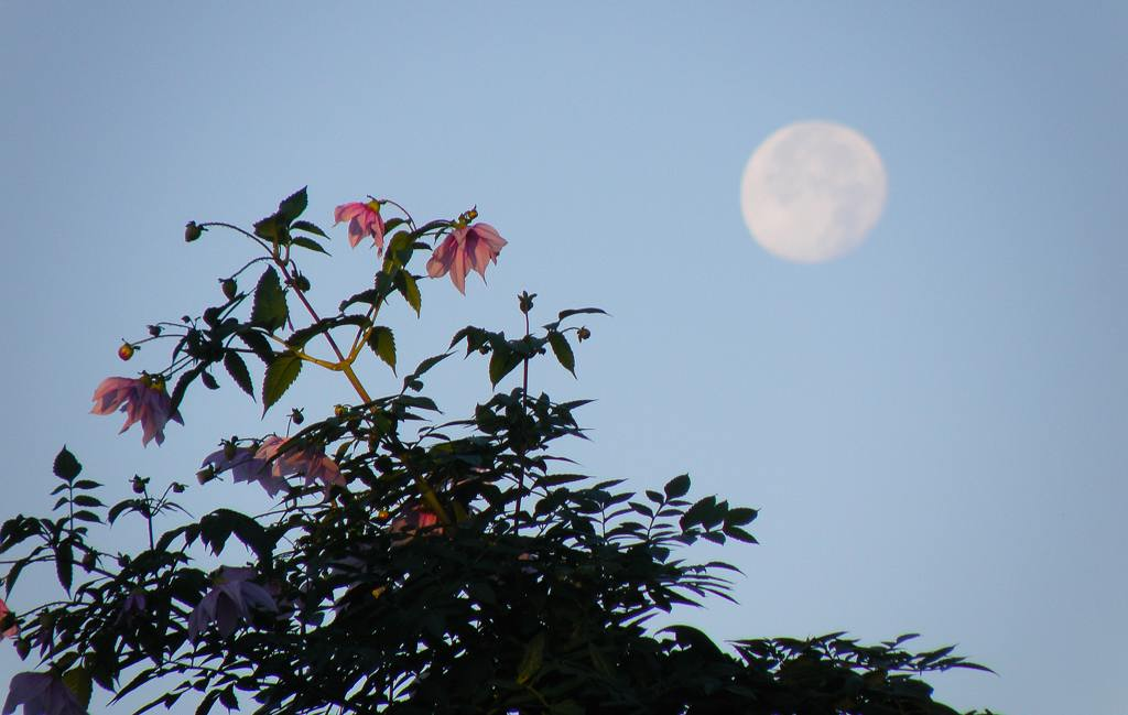 カシラダカ・ホオジロ/十六夜の残り月_b0024798_20344391.jpg