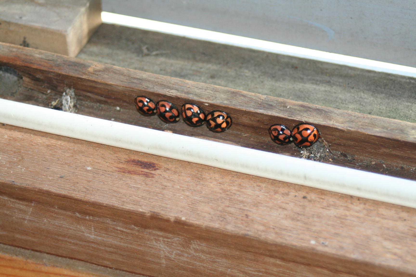 てんとう虫が木製サッシの等圧空間に並ぶ_e0054299_9342079.jpg