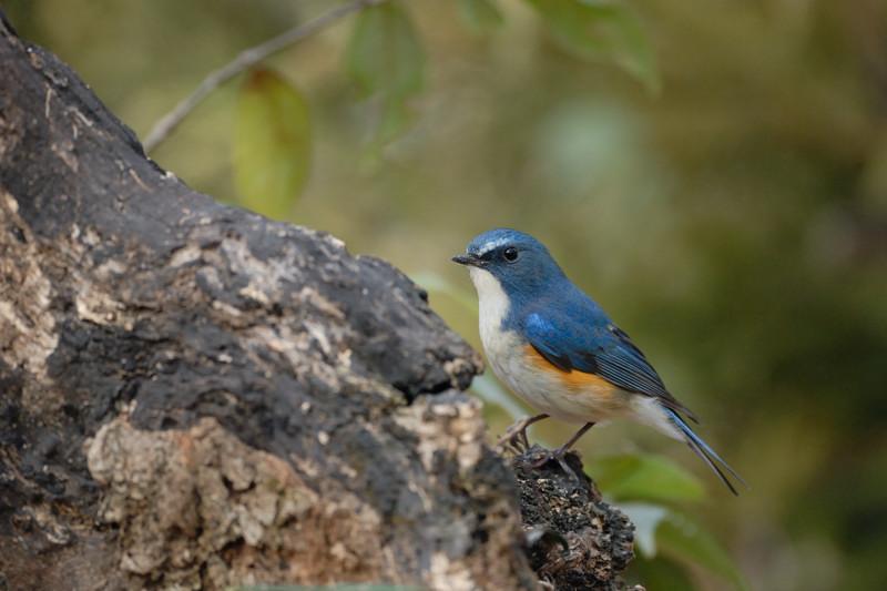 冬の青い鳥と赤い鳥_d0099854_19454346.jpg