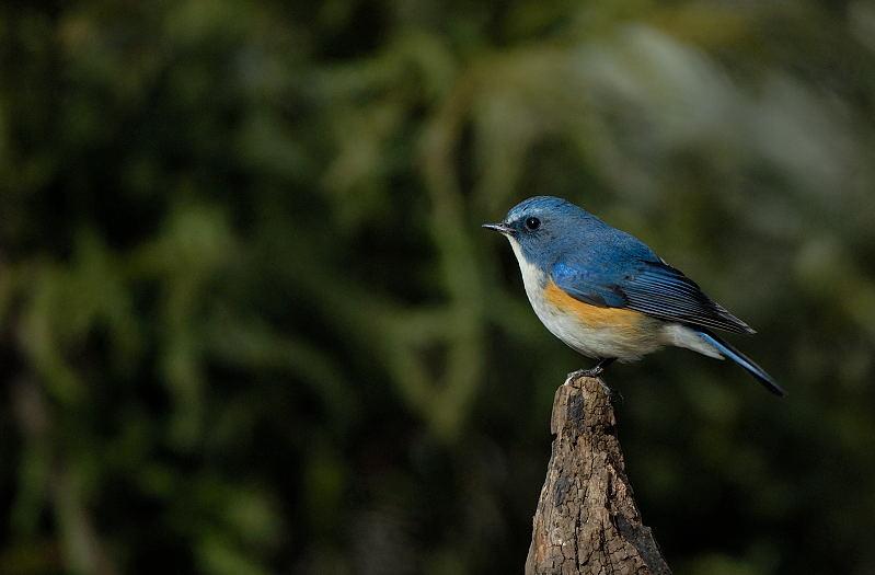 冬の青い鳥と赤い鳥_d0099854_1945564.jpg