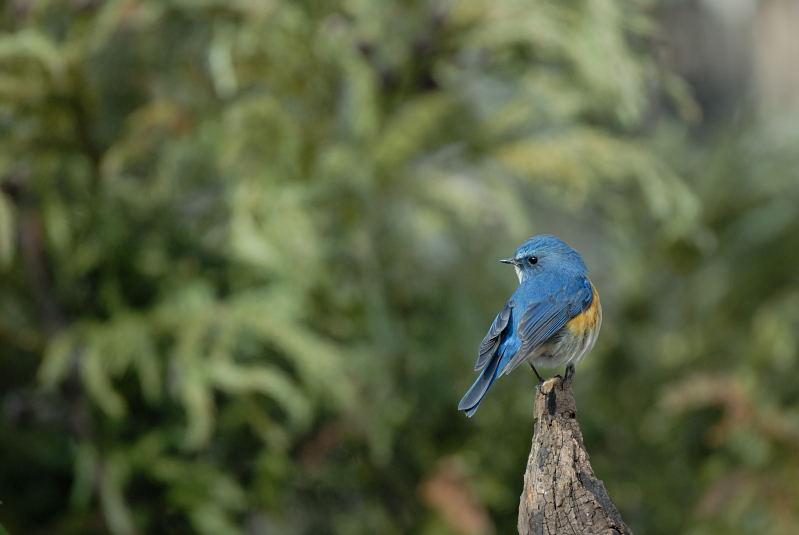 冬の青い鳥と赤い鳥_d0099854_19472353.jpg