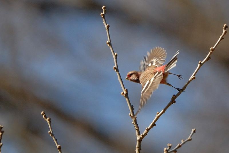 冬の青い鳥と赤い鳥_d0099854_1959565.jpg