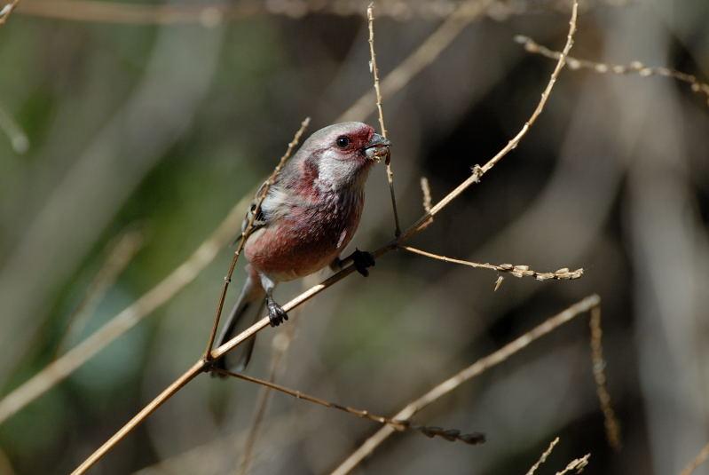 冬の青い鳥と赤い鳥_d0099854_2003040.jpg