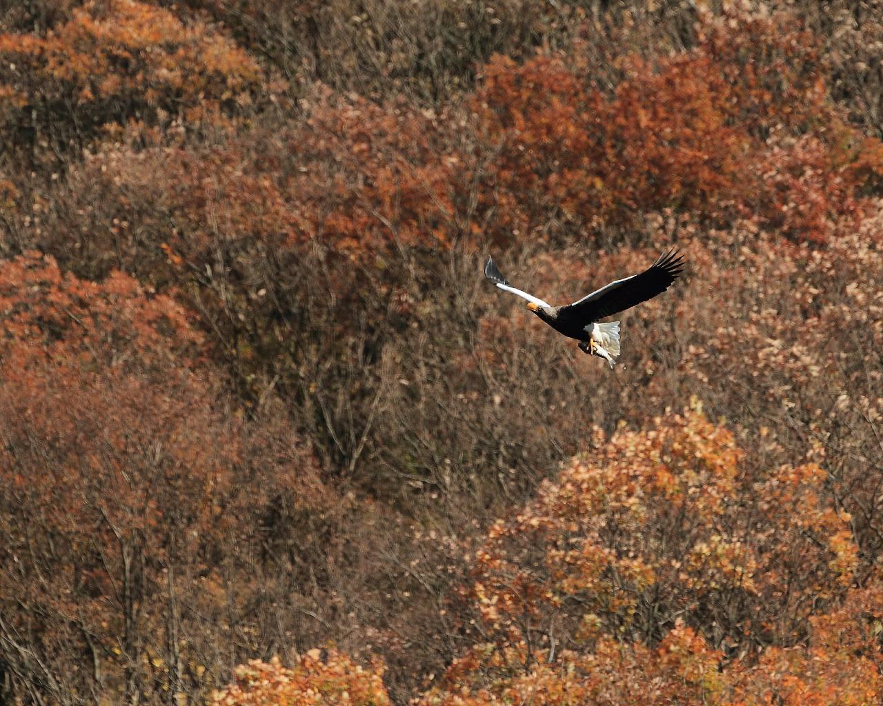 紅葉を背景に優雅に舞う空の王者オオワシ_f0105570_2231271.jpg