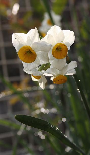 水仙の季節が来ました_a0107574_6282660.jpg