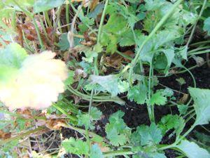 12月の畑はまだまだ元気です!_d0148902_21463958.jpg