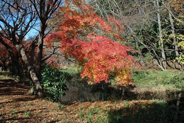 晩秋の「じゅんさい池緑地」_f0012718_22453434.jpg