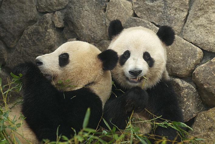 ジャイアントパンダの画像 p1_18