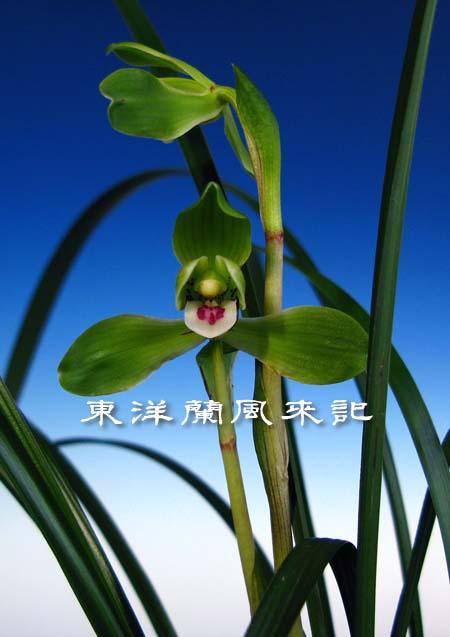 中国春蘭「翆一品」                   No.742_d0103457_156748.jpg
