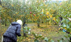 りんご狩り_c0150273_1293036.jpg